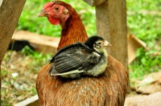 baby chick & hen