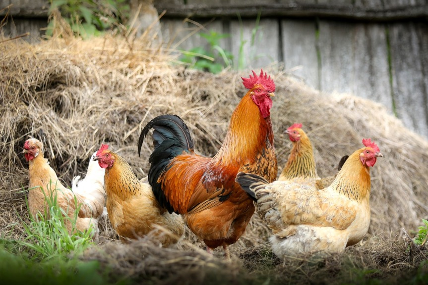 Helpful Tips for Raising Free Range Chickens