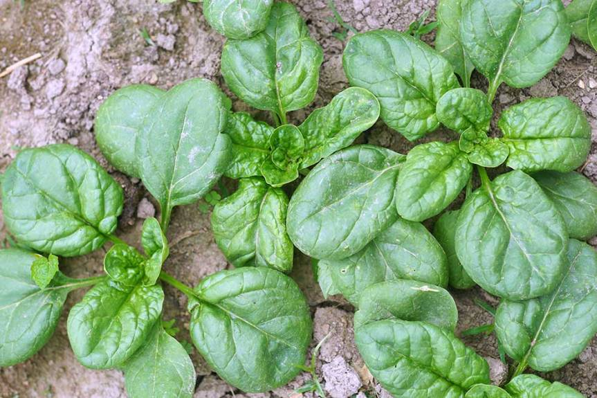 Spinach-web-