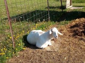 heidi the goat