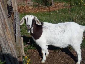 gretel who needs a hoof trim