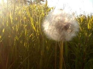 puff dandelion